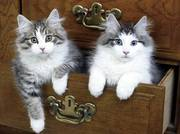 Norwegian Forest Cat kittens for sale