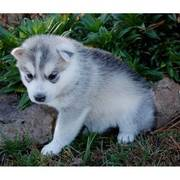 KC Blue Eyed Siberian Husky Male and Female For rehoming
