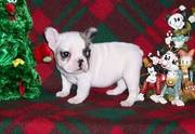 Cute French Bulldog Puppies For Loving And Caring Homes