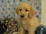 cute and lovely Labradoodle puppies for adoption